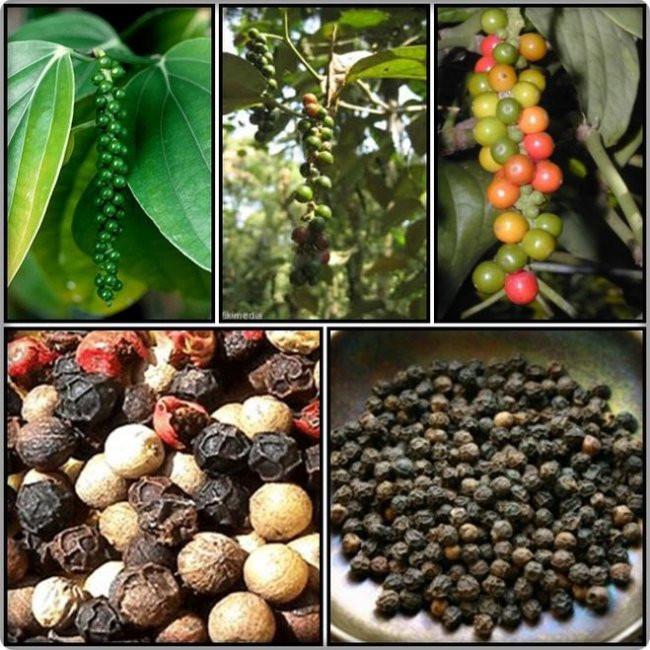 Перец черный горький горошком выращивание 96