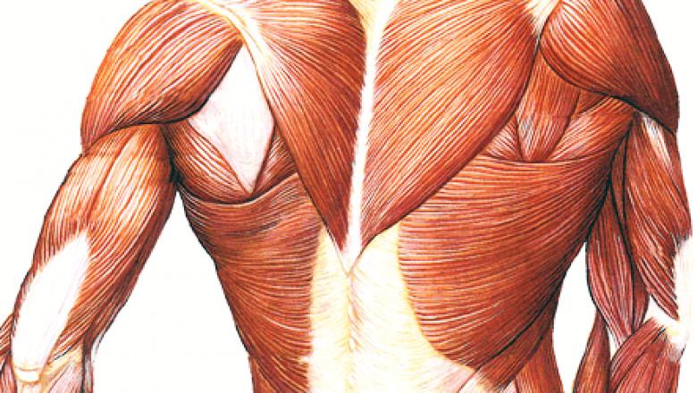 Анатомический атлас человека мышцы в картинказ 3